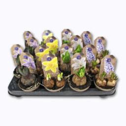 Bolbos Flores Tabuleiro