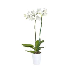 Phalaenopsis Vaso 12 cm