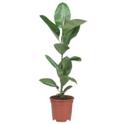 Plantas Variadas Vaso 17 cm