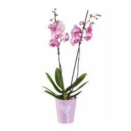 Phalaenopsis em Vaso