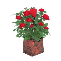 Roseiras em Vaso