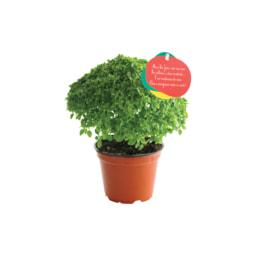 Manjericos Vaso 10 cm