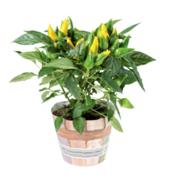 Plantas Variadas em Vaso
