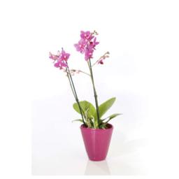 Phalaenopsis multiflora 2 Hastes