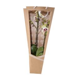 Phalaenopsis em Saco