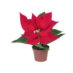 Estrelas de Natal Mini
