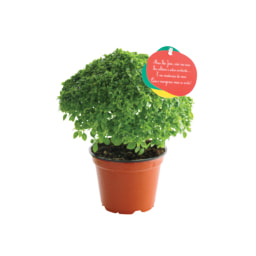 Manjericos Vaso 12 cm