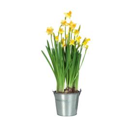 Bolbo de Flor em Vaso