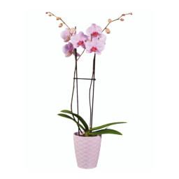 Phalaenopsis Dia da Mãe