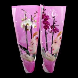 GARDEN FEELINGS® Orquídea Perfumada