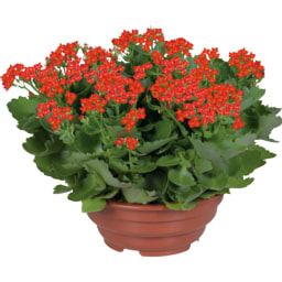 Plantas Variadas com Flor XL