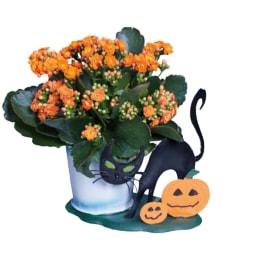 Kalanchoe em Vaso Halloween