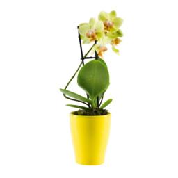 Phalaenopsis Mini em vaso