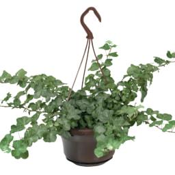 Plantas para Suspensão