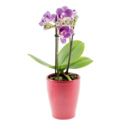 Plantas com Flor Mini