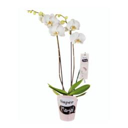 """Phalaenopsis """"Super Mãe"""""""