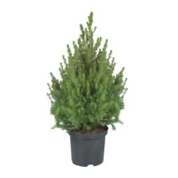 Pinheiro Vaso 21 cm