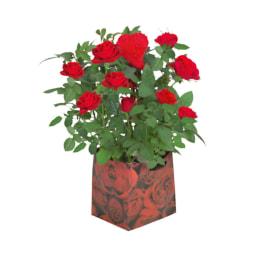 Roseiras em Bolsa