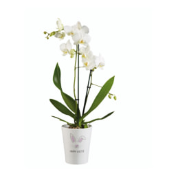 Phalaenopsis de Páscoa