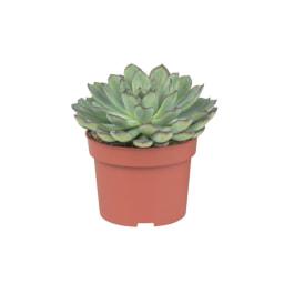 Suculentas Vaso 9 cm